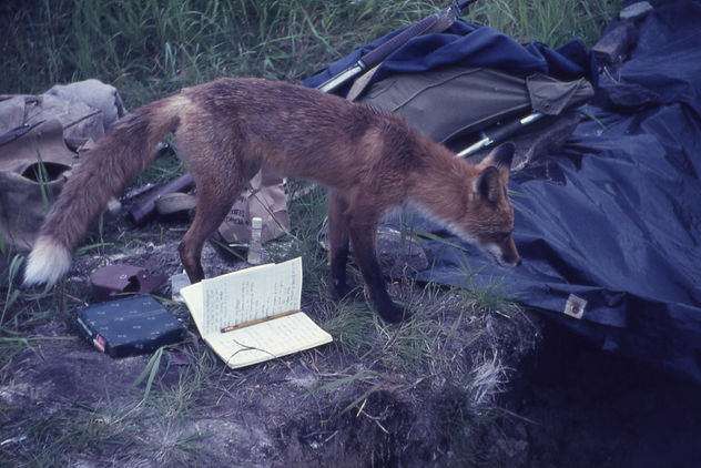 Red Fox inspecting an archaeological excavation at Kukak Bay, Alaska, 1965 - image #275563 gratis