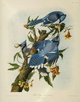 Vintage Bird Illustration, two blue jays - бесплатный image #275783