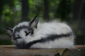 Sleeping Arctic Fox 2 - image #275813 gratis