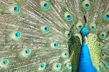 Peacock - Free image #275933