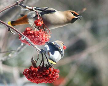 Cedar Wax Wings - image gratuit #276153