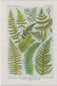 british ferns4 - Free image #276403