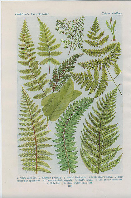 british ferns4 - image gratuit #276403