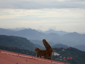 Monkey Business on the Roof Top - image gratuit #276443