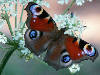 Peacock Butterfly in the morning - image gratuit #276463