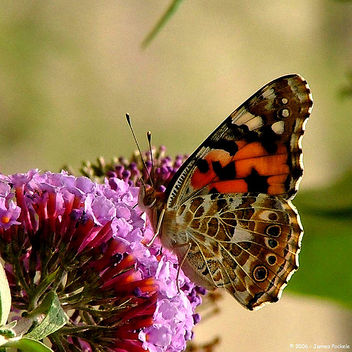 Distelvlinder Painted Lady (Vanessa cardui) - бесплатный image #276473