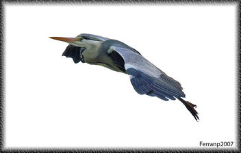Bernat pescaire en vol 05 - Garza real en vuelo - Grey heron in flight - Ardea cinerea - image #277623 gratis