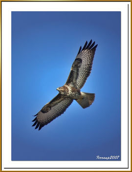 Aligot en vol 03 - Ratonero en vuelo - Common Buzzard in flight- Buteo buteo - image gratuit #277813