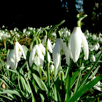 perce-neige / snowdrops - Kostenloses image #278003