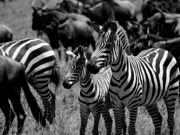 Zebras and Wildebeest - Free image #278213
