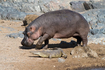 Hippo and crocodile - Free image #278343