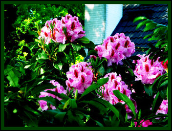 rhododendron - image gratuit #278393