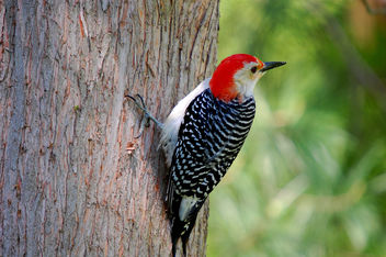 Red bellied Woodpecker - image gratuit #278433