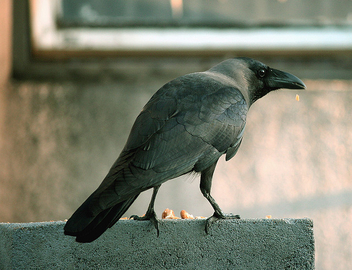 My first Crow shot! - Free image #278883