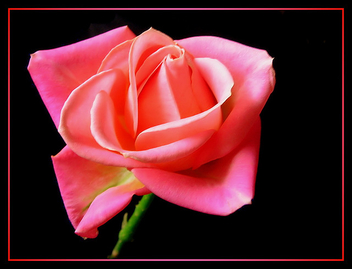 the_pink_rose - image #279203 gratis