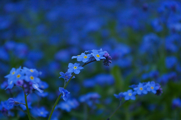Blue flower - Free image #279713