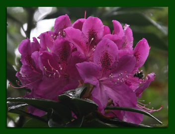 Rhododendron and Visitor - Free image #279793
