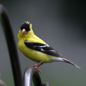A poser goldfinch - Free image #280343