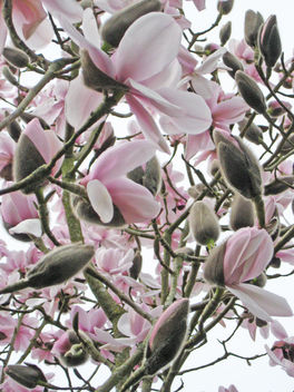 Ireland - Irish Magnolia - Free image #280693