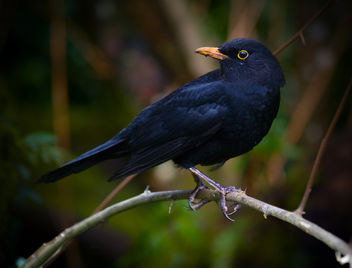 Male Blackbird at Dartington - image #280883 gratis
