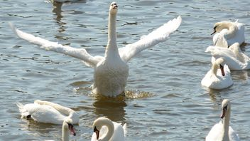 Swans on the lake - image #281003 gratis
