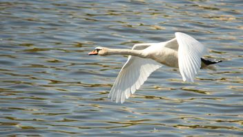 Swan flying over the lake - бесплатный image #281023