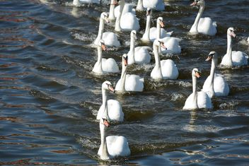 Swans on the lake - image #281033 gratis