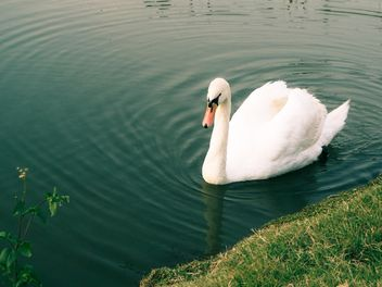 Swan on the lake - image #281043 gratis