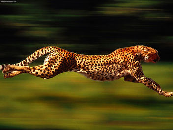 High Velocity Cheetah - image #281173 gratis