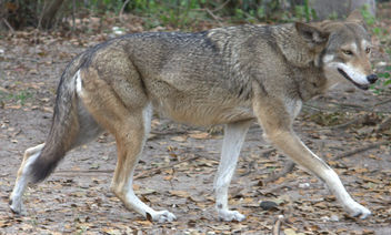 Red wolf - Free image #281263