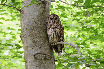 Owl in a Tree - image #281463 gratis