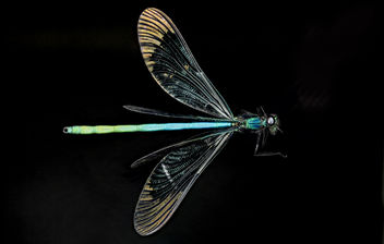 Ebony Jewelwing Damselfly, U, Wings 2, PG County, Maryland_2013-06-12-16.17.42 ZS PMax - image gratuit #281793