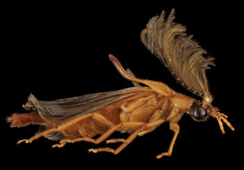 Phengodes species, U, Right, U_2013-07-18-15.54.20 ZS PMax - image #281883 gratis