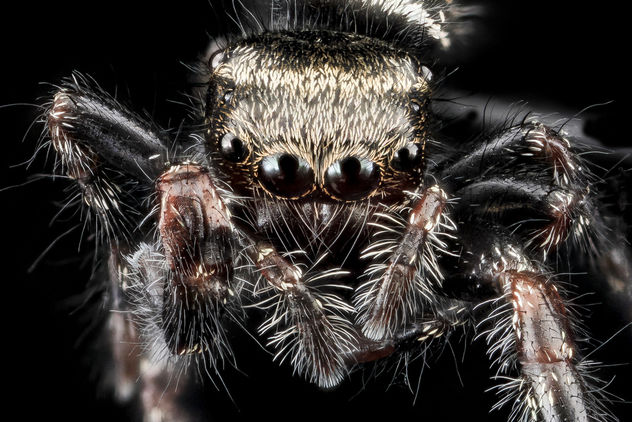 Jumping spider, U, Face, Upper marlboro_2013-08-02-15.51.47 Zs Pmax - Free image #281943