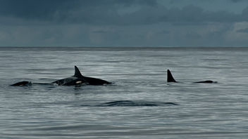 The Killer Whale's Family in Norwegian Sea - бесплатный image #281973