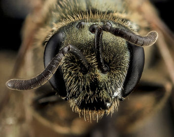 Lasioglossum gotham, F, Face, MD, Cecil County_2013-07-10-16.51.23 ZS PMax - image #282053 gratis