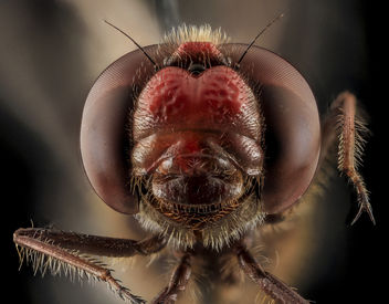 Sympetrum?, face, Beltsville, md_2013-10-25-10.45.47 ZS PMax - Kostenloses image #282173