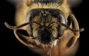 Andrena helianthiformis, face, Pennington County, SD_2013-10-23-09.50.41 ZS PMax - Free image #282253
