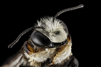 Megachile xylocopoides, m, face, md, kent county_2014-07-22-09.20.37 ZS PMax - Free image #283013