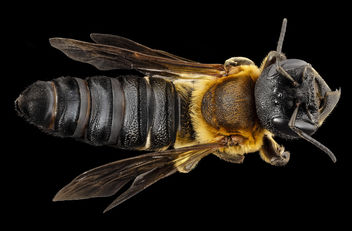 Megachile sculpturalis, f, back, md, kent county_2014-07-21-12.24.59 ZS PMax - Free image #283033