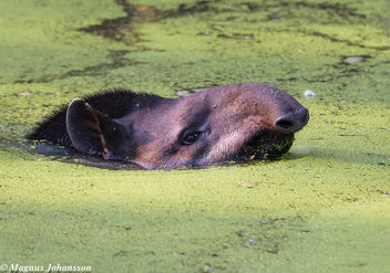 A Tapir swimming good - бесплатный image #283093