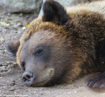 Sleeping bear.. don't wake him up - Free image #283153