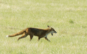 Red Fox, Severn Valley, Gloucestershire - Kostenloses image #283233