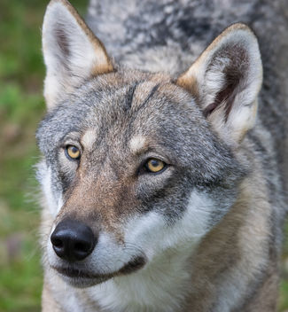 wolf getting food at Orsa Rovdjurspark - image gratuit #283243