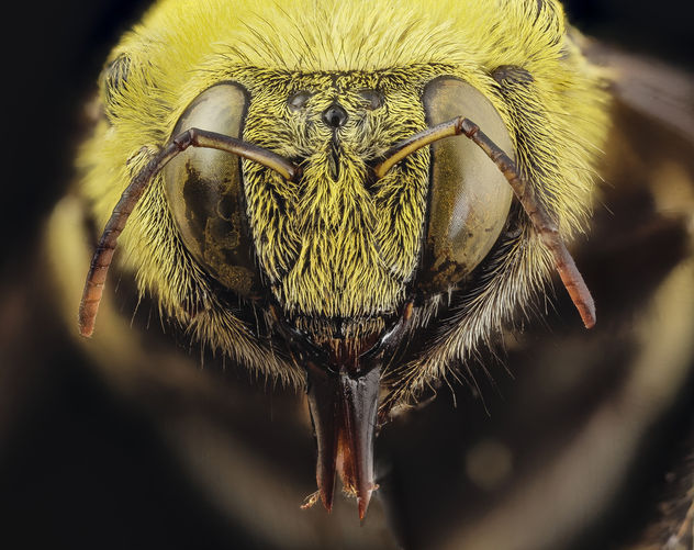 xylocopa india yellow, m, india, face_2014-08-10-11.17.01 Zs Pmax - Free image #283273