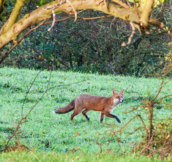 Morning Hunt, Red Fox, Cotswolds, Gloucestershire - Free image #283403