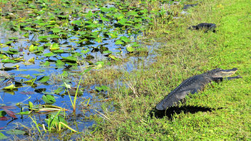 NASA Kennedy Space Center: Alligator - image gratuit #283423