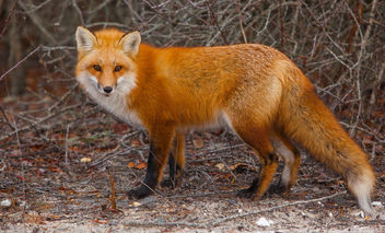 Foxes of Island Beach State Park New Jersey - бесплатный image #283503