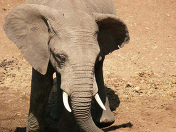 Elephant in the Mara - Free image #283683