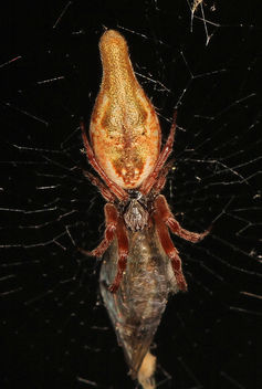 Trashline Orbweaver - Cyclosa conica, Pickering Creek Audubon Center, Easton, Maryland - Free image #283723